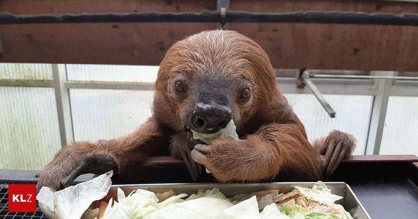 Stolze 51 Jahre alt : Ältestes Zoofaultier der Welt feiert seinen Geburtstag - Fotoshooting dafür dauerte Wochen