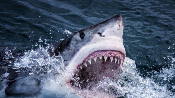 Terra X: Der Hai - Magie eines Monsters am Sonntag verpasst?: Wiederholung der Dokureihe online und im TV