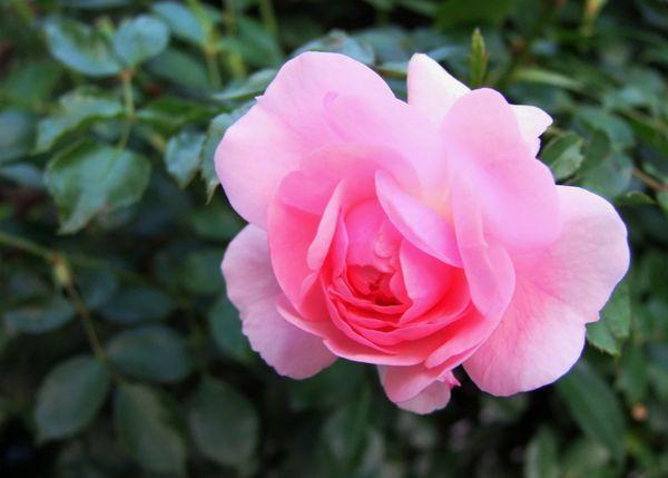 Vorgarten: Bunte Sommerblumen