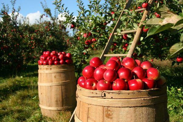 Ernährungswissenschaft Äpfel sind vielseitige Vitalstoff-Oasen