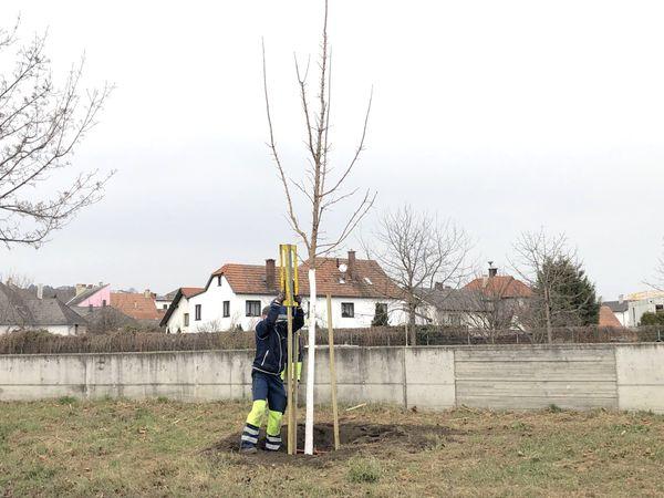 Stadt Krems: Stadtgärtner pflanzen einen Baum