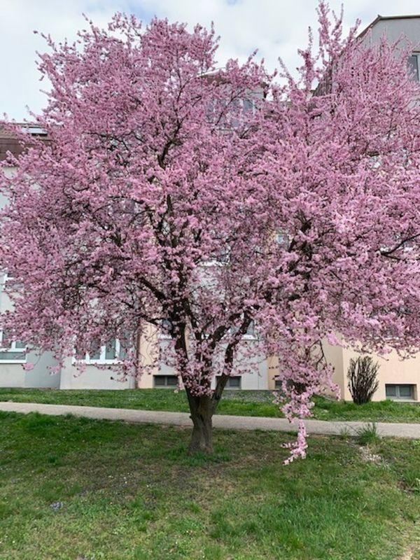 Stadt Krems: So rosarote Büten trägt die Zierkirsche