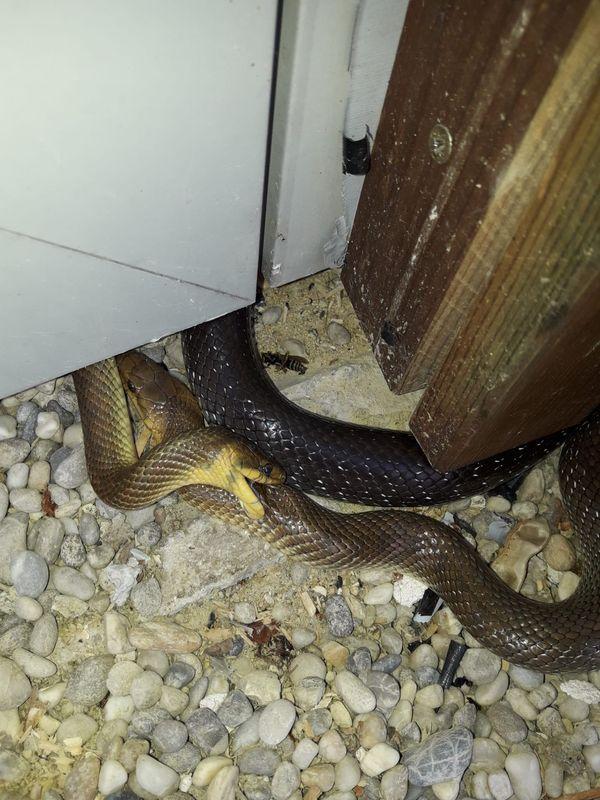 Besuch aus dem Tierreich: Ein Schlangentrio sorgte für Schreckmoment