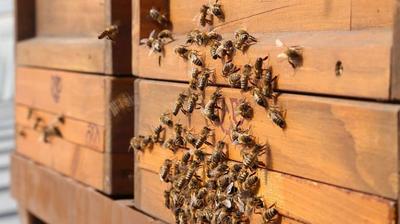 Пчелите на покривот на собранието во Виена годишно произведуваат 180 кг мед