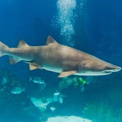 Kum Kaplanı Köpekbalığı