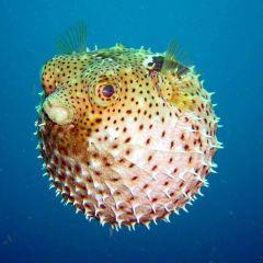Balon Balığı