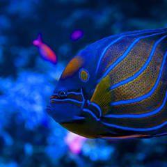 İmparator Melek Balığı