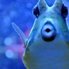 Uzun Boynuzlu İnek Balığı