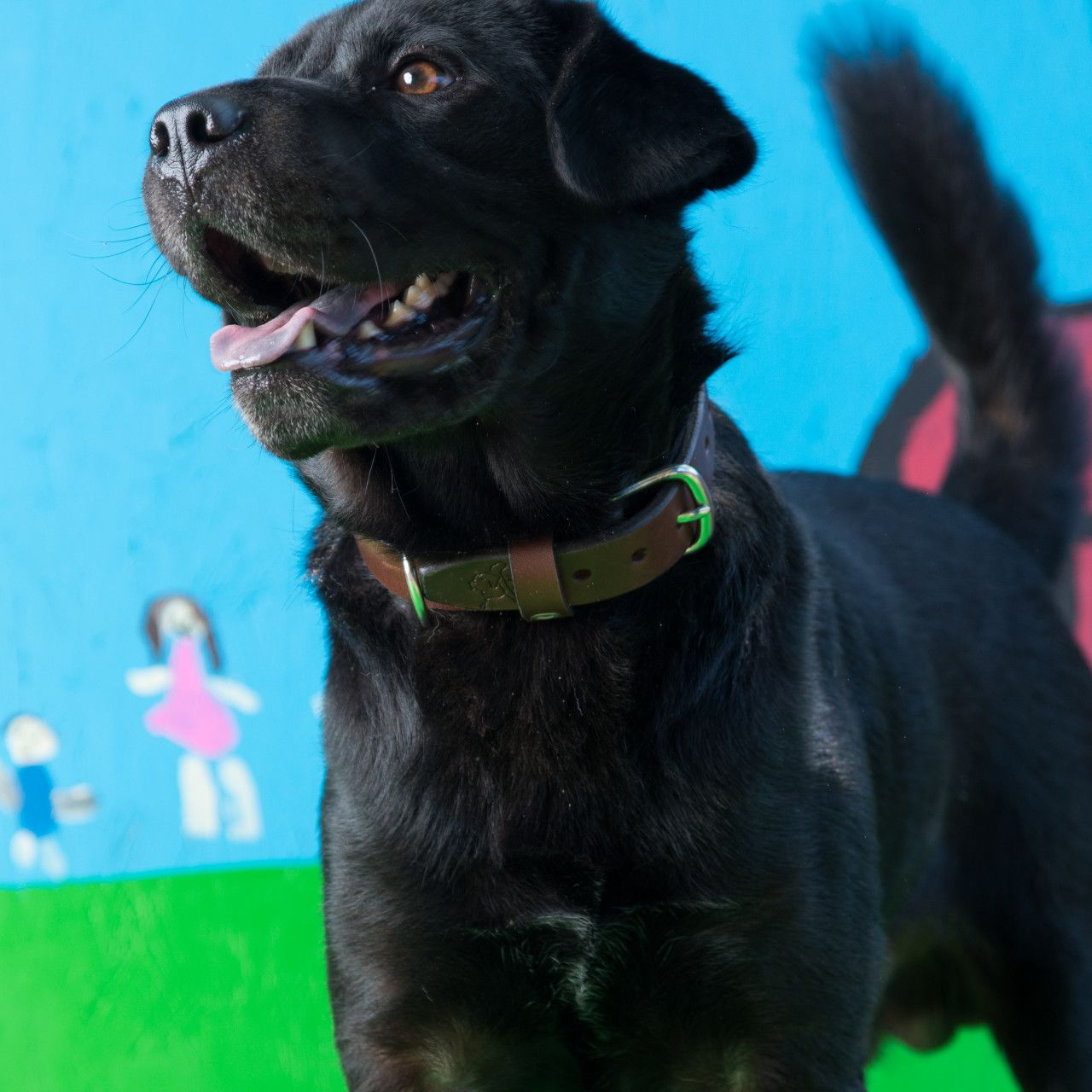 A dog in a leather dog collar large in dark coffee brown leather on his neck visible on a blue-green background