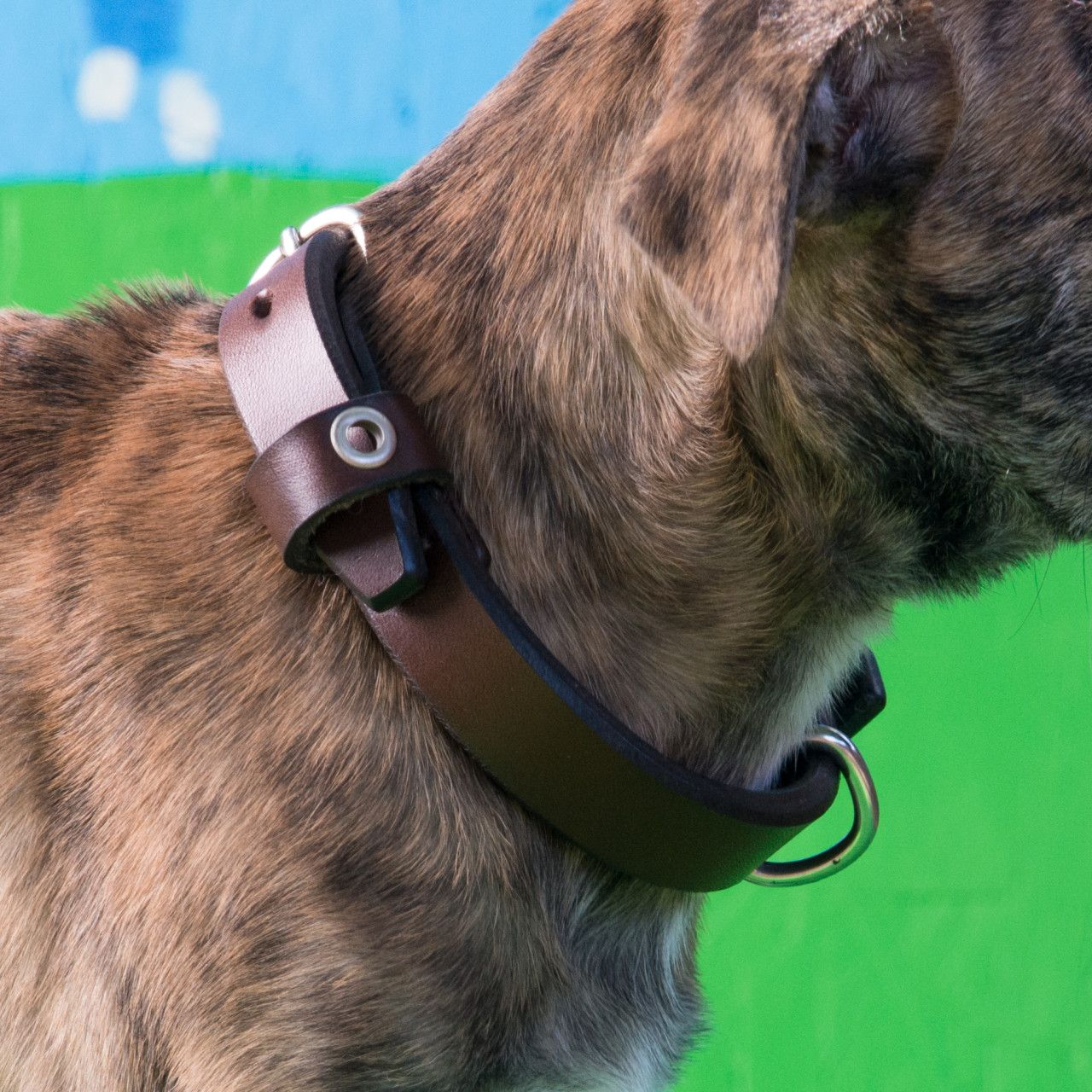 A dog in a leather dog collar medium in dark coffee brown leather on his neck on a green background
