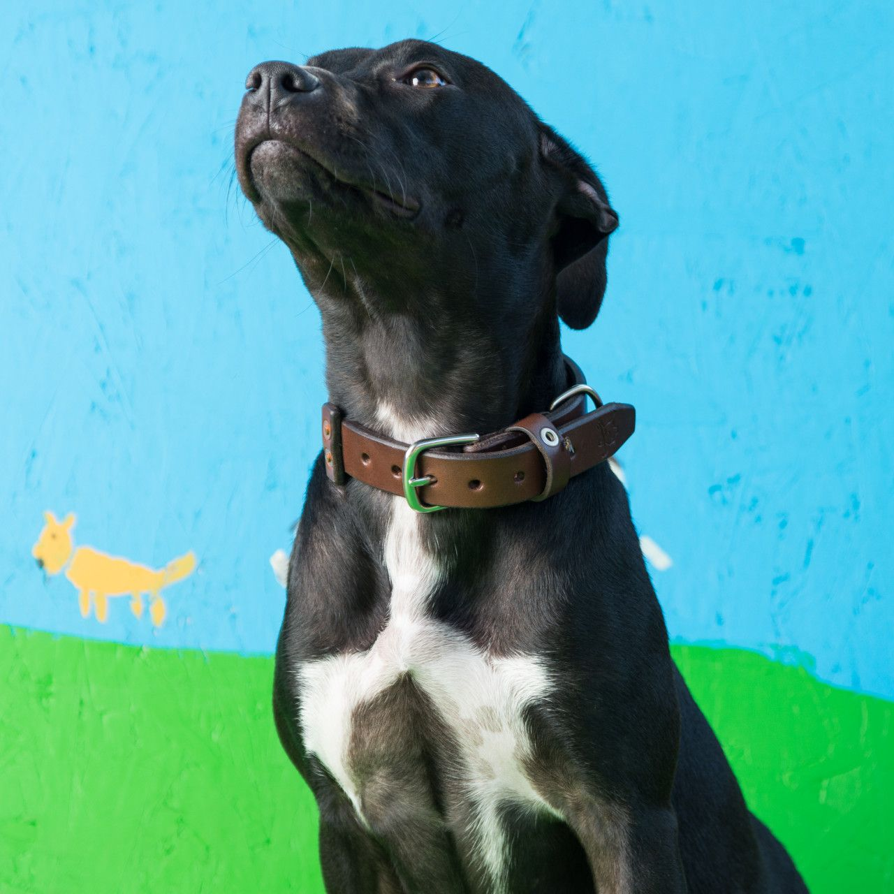 A dog in a leather dog collar medium in dark coffee brown leather on his neck visible on a blue-green background