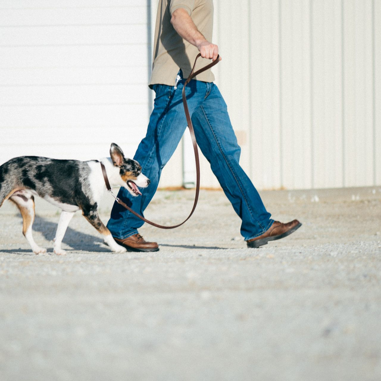 White-black dog run on a leather dog leash in dark coffee brown leather by a man in blue trousers