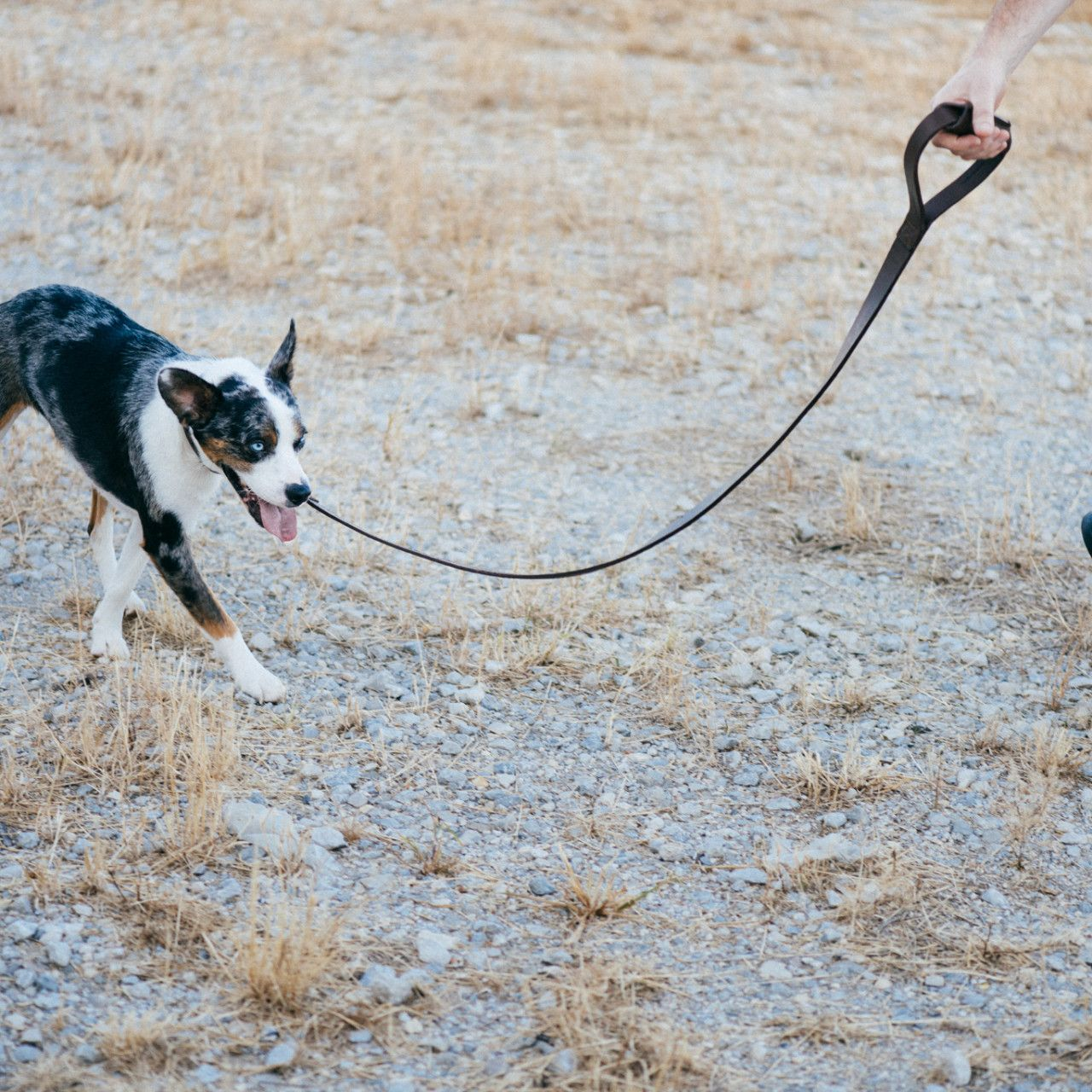 White-black dog with tongue out and leather dog leash in dark coffee brown leather in rocky terrain