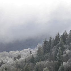 Photo of Waynesville Pine Tress with a Dusting of Snow