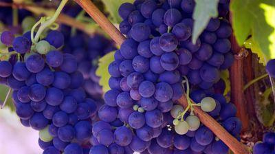 """Од грозјето """"вранец"""" кое нема да го откупат винариите, ќе се прави алкохолен дестилат"""