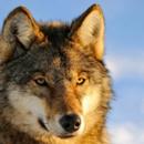 Во Сибир пронајдена глава на волк стара 40 000 години