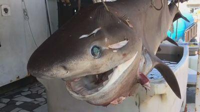 Редок вид ајкула уловена во водите на Јонско Море кај Валона