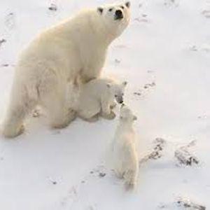Гратче во североисточна Русија запоседнато од бели мечки