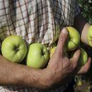 Истражувањата покажаа дали треба секој ден да јадете јаболка