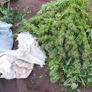 Откриени 65 стебла канабис во Демир капија, приведени дилери