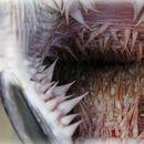 Устата на морските желки изгледа вака, но зошто?