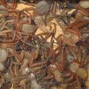 Rare massive nest of huntsman spiders