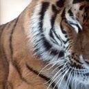 Необична средба: Амурски тигар следи возило на пат во Хабаровскиот крај