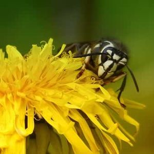 Кога ќе ве касне оса, пчела или стршен – ОВА ќе ве спаси од болка!