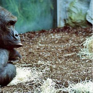 """Горилите од зоолошката градина """"Сафари"""" во Сан Диего ќе бидат вакцинирани против Корона"""