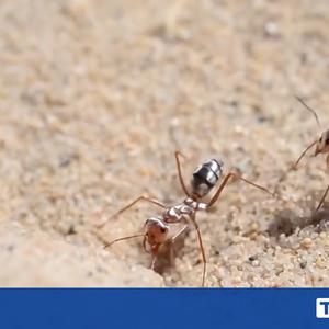 Колко бърза е най-бързата мравка на планетата?