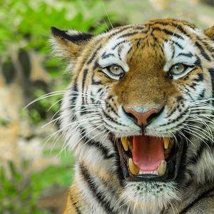 Тигър избива хора в индийско село под карантина заради коронавируса