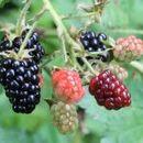 Берба и откуп на споредни шумски плодови – макотрпна, но исплатлива сезонска работа