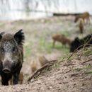 ПОЧНА ОТСТРЕЛОТ: Дивите свињи во Македонија со глава ќе платат за африканската чума