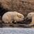 """Битка на две поларни мечки за """"плен"""": Она за што се бореа сите ги запрепасти"""