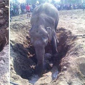Слоница копаше 11 часа за да го спаси своето бебе, кое падна во јамата
