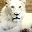 Скопската зоолошка му посака добредојде на белиот лав Чака