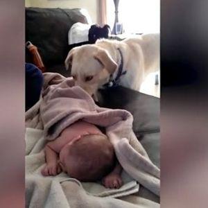 Кога ја нема мама можам и јас – Кога ќе видите како кучето го покрива бебето ќе останете без здив!