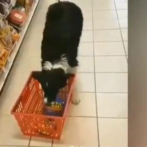 Да се има вакво куче е вистинско богатство: Сам избира намирници и купува во продавница а само да видите како плаќа на касата!