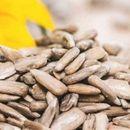 Семки од сончоглед – толку здрави а често запоставени