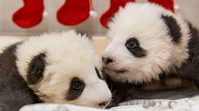 Тримесечни панди го слават првиот Божиќ во берлинската зоолошка