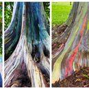 Совршената уметност на природата: еукалиптус-виножито!