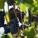 Лозарите од Тиквешијата бараат отворање на границите за извоз на македонско грозје