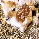 Се роди еленче во Зоолошка градина, го крстија Лаки