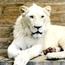 Белиот лав Чака пристигна во Скопје