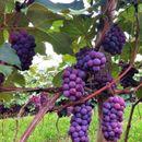 Срамота е една гума за џвакање да биде поскапа од килограм грозје, велат лозарите од Тиквешијата