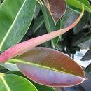 Листот од ова собно растение лекува хемороиди