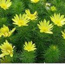 Горицвет (Adonis vernalis L.)