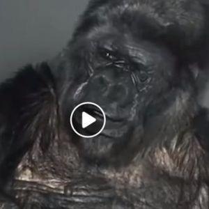 Тие се како нас: Погледнете како мајмунот Коко разговараше со луѓето