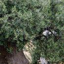 Дрвото што размислува: Античко маслиново дрво во Италија старо преку 1500 години (Фото)