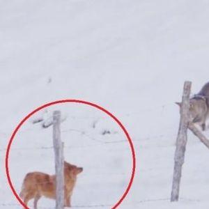 Три волци опколија мало куче! Се спаси од смрт на генијален начин!